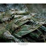 three crocodile brothers