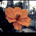 hoa soi nhai